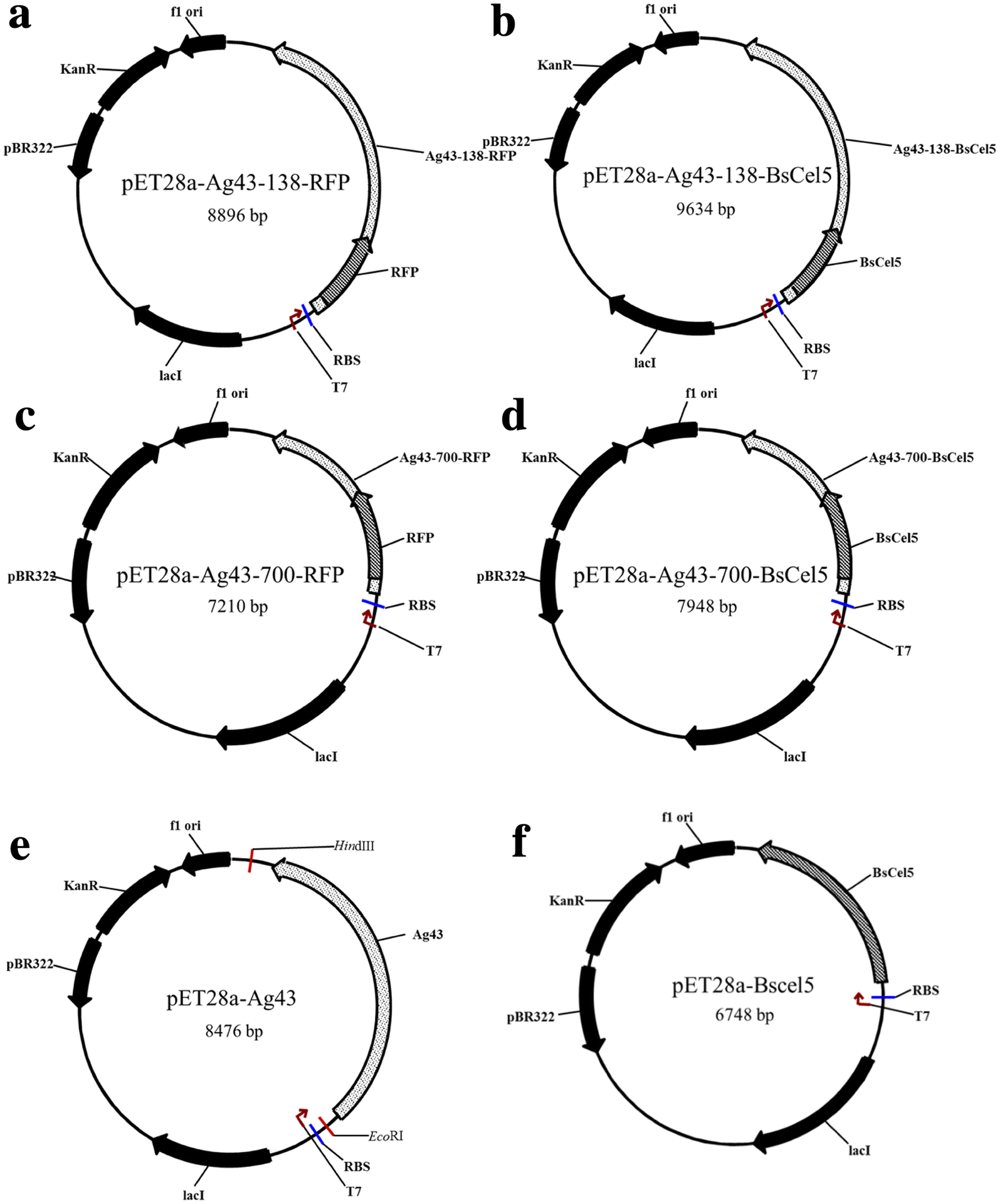 Antigen-43-mediated surface display revealed in Escherichia coli by