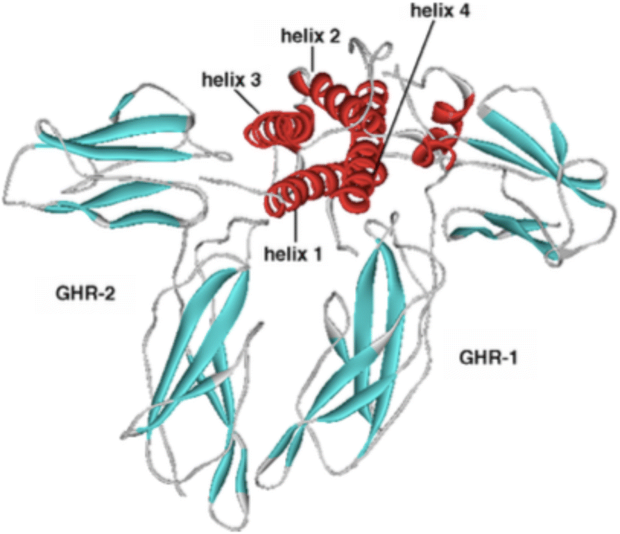 Growth hormone: isoforms, clinical aspects and assays