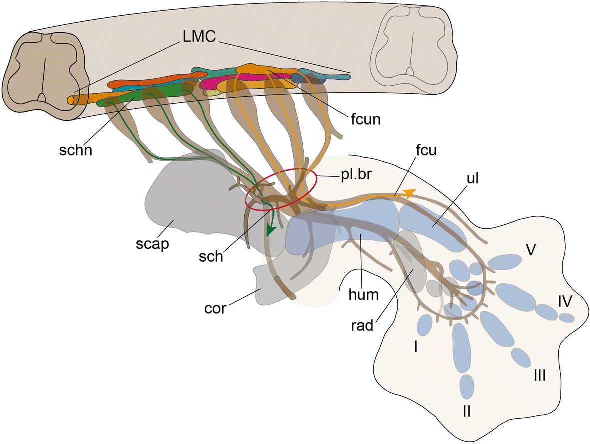 Evolution of the muscular system in tetrapod limbs