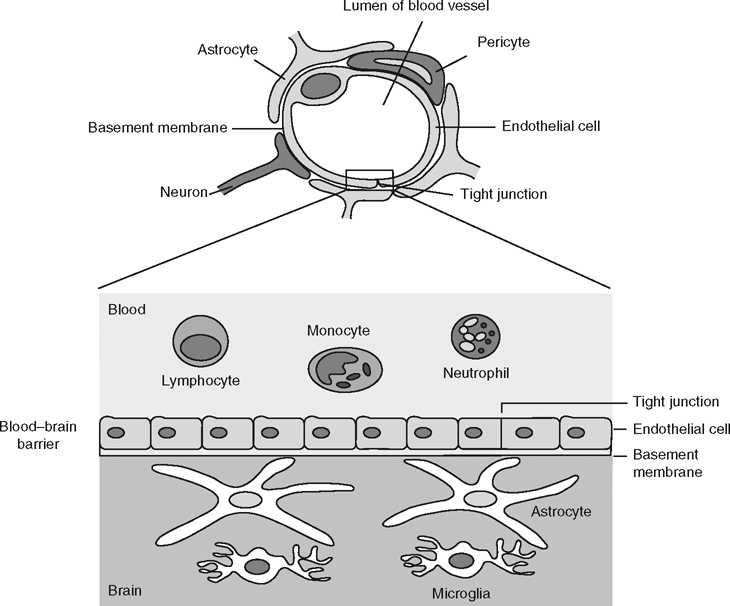 Blood-Brain Barrier Permeation and Efflux Exclusion of