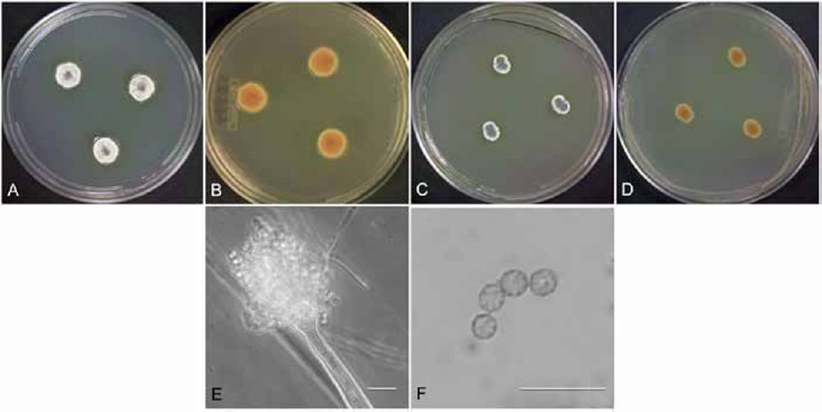 Aspergillus section Versicolores: nine new species and