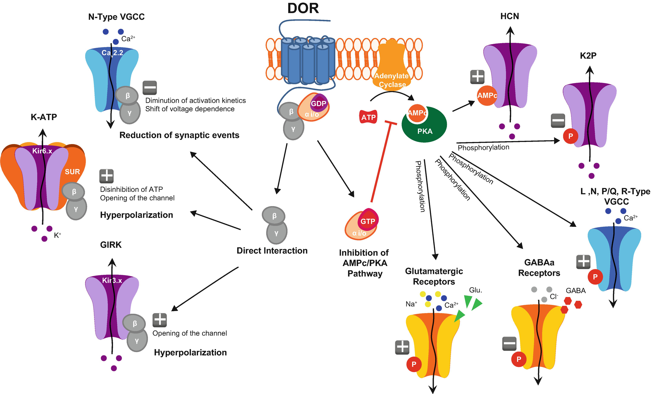 Delta Opioid Receptor Expression and Function in Primary