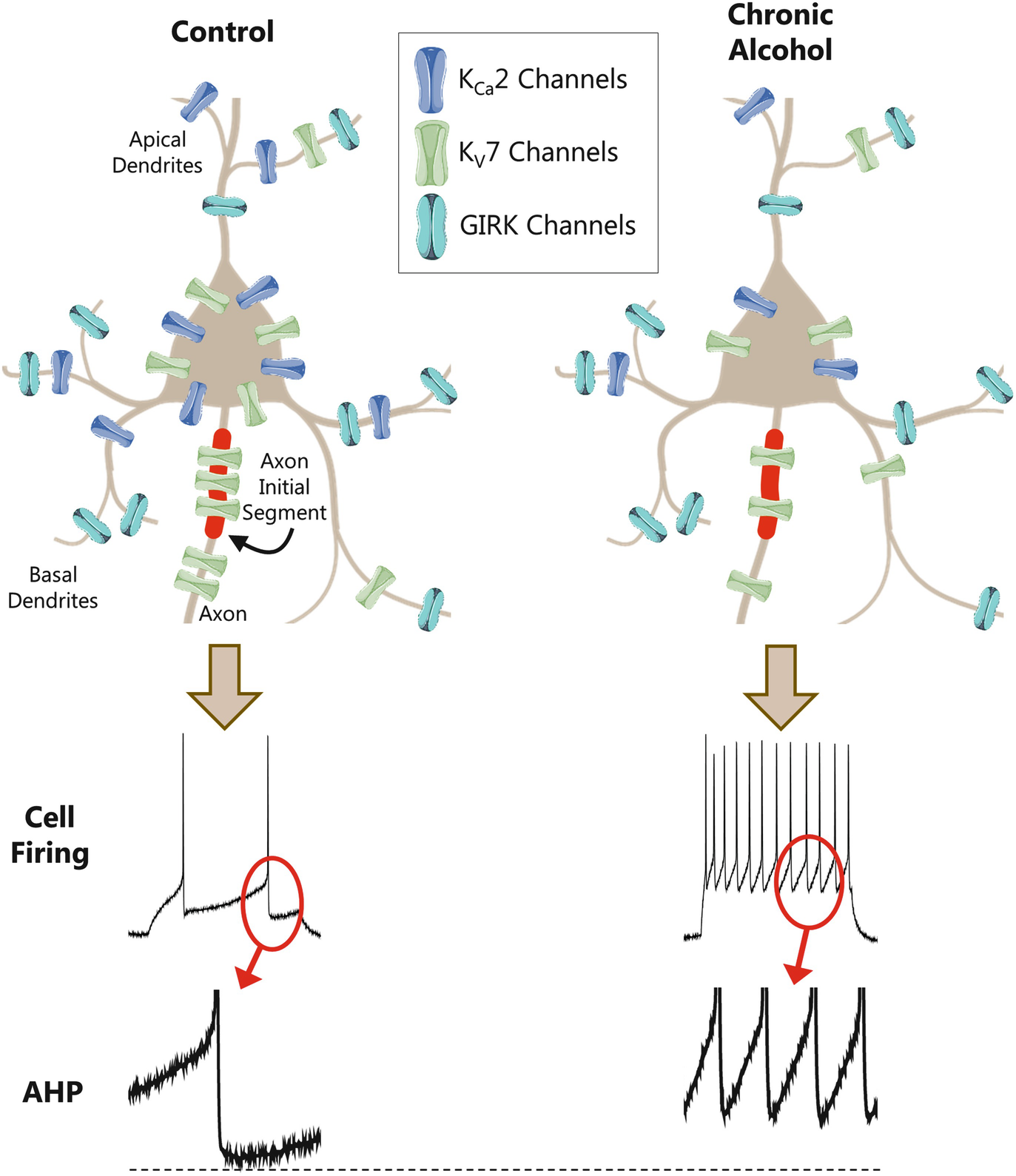 Chronic Alcohol Intrinsic Excitability And Potassium Channels Circuit Diagram Likewise Simple 555 Timer Circuits Besides Stress Open Image In New Window