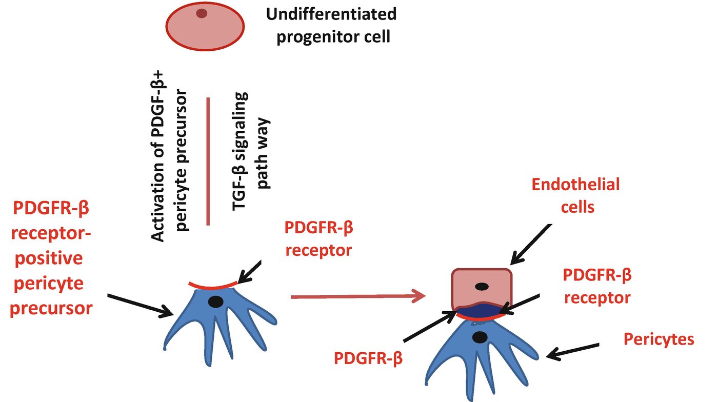 Pericytes: The Role of Multipotent Stem Cells in Vascular