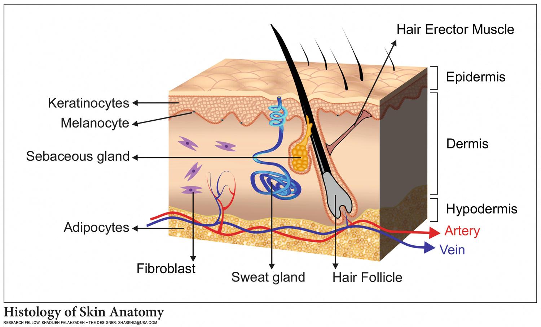 Tissue Engineered Skin Substitutes Springerlink