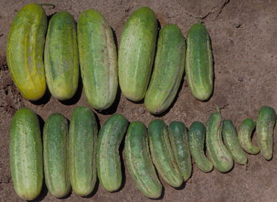 Cucumber Family Seed 20 Seed Various Kinds Of Cucumis Sativus Vegetable Mix C104