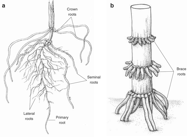The Maize Root System: Morphology, Anatomy, and Genetics | SpringerLink