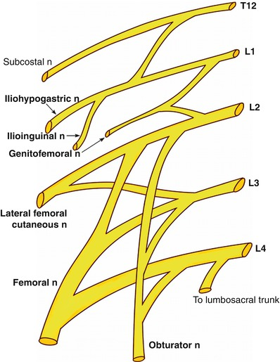 fig 112 schematic diagram of the lumbar plexus