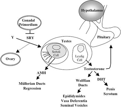 Androgensmolecular Basis And Related Disorders