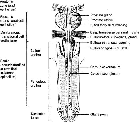 Male external genitalia anatomy - photo#37
