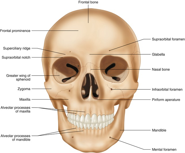 Anatomy Of The Head And Neck Springerlink
