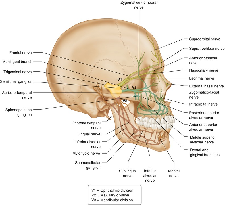 Anatomy of the Head and Neck | SpringerLink