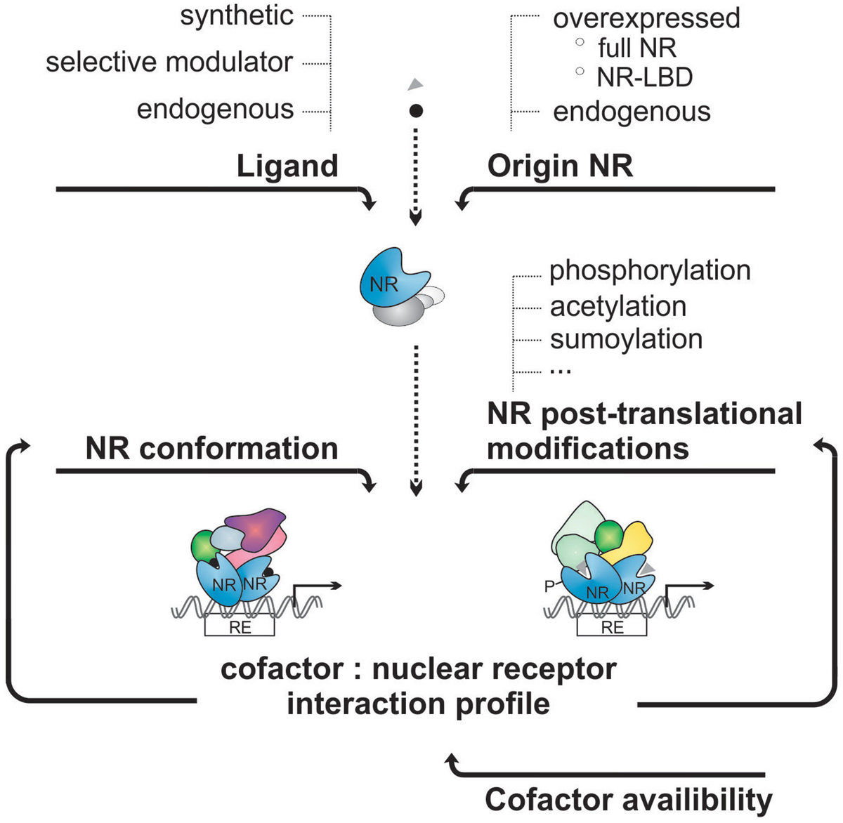 Cofactor Profiling of the Glucocorticoid Receptor from a Cellular ...