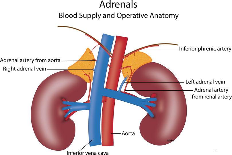 Adrenals | SpringerLink