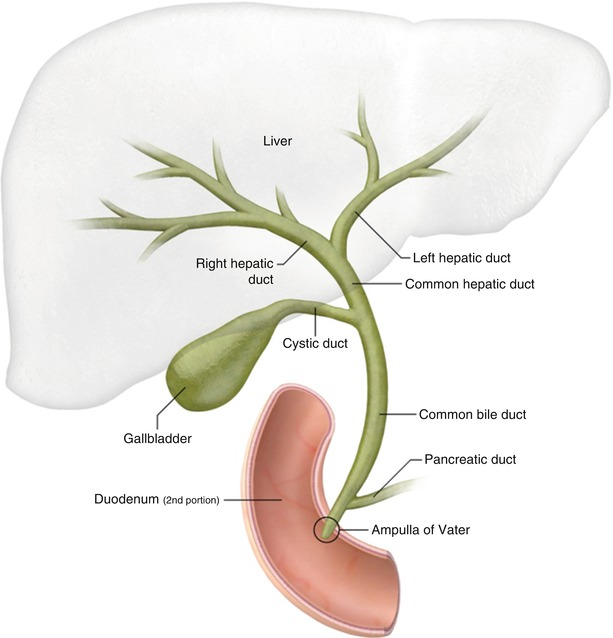 The biliary tree springerlink fig 51 normal biliary anatomy ccuart Choice Image