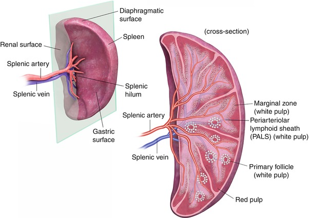 Spleen Anatomy Diagram Red White Cords - Information Of Wiring Diagram •