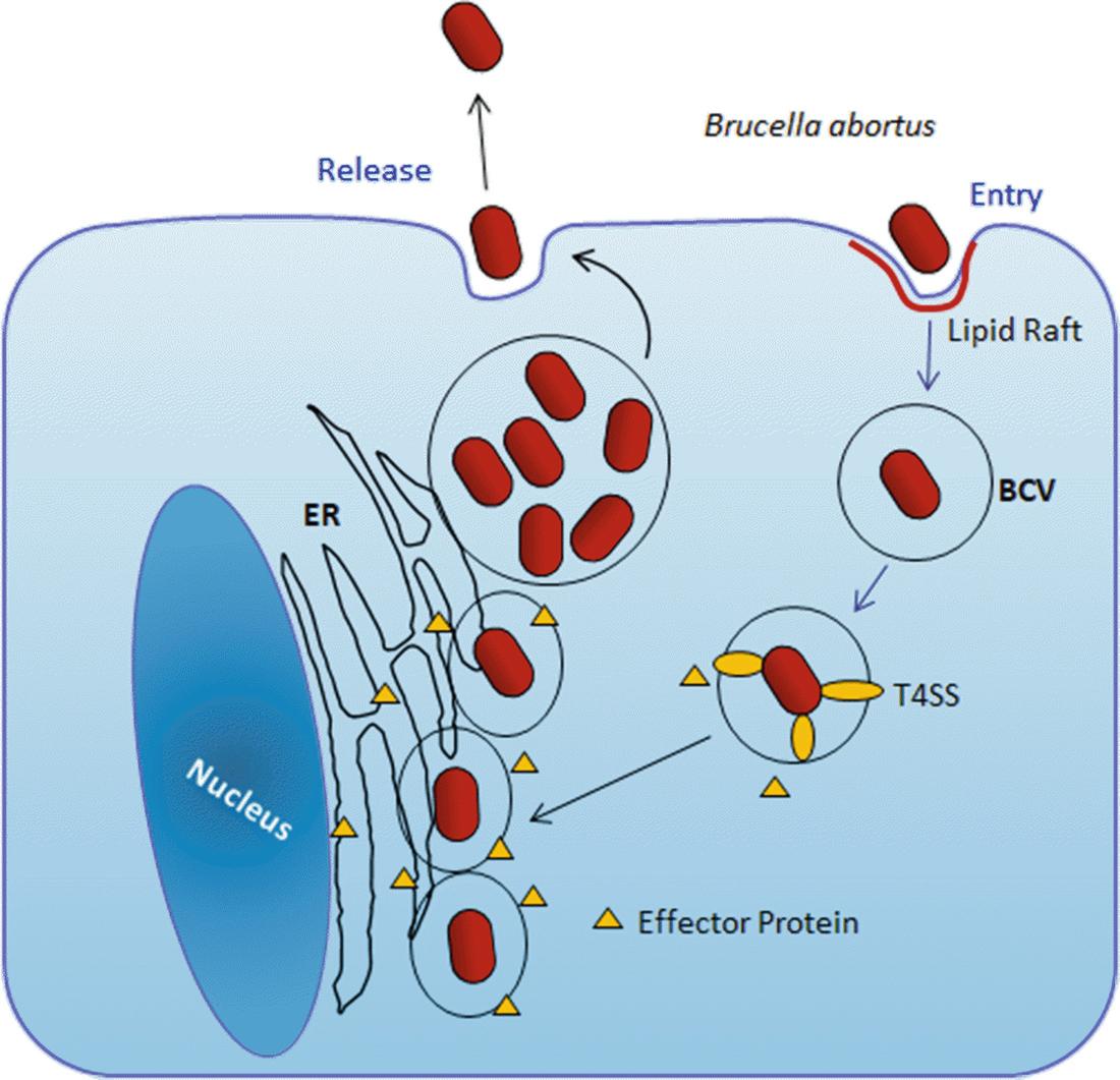 Opportunistic and Emerging Foodborne Pathogens: Aeromonas hydrophila