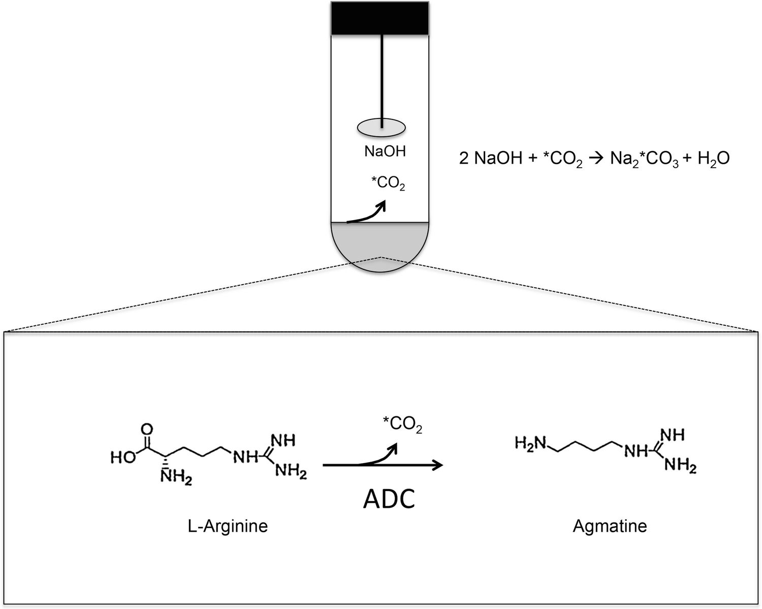 Determination of Arginine and Ornithine Decarboxylase Activities in