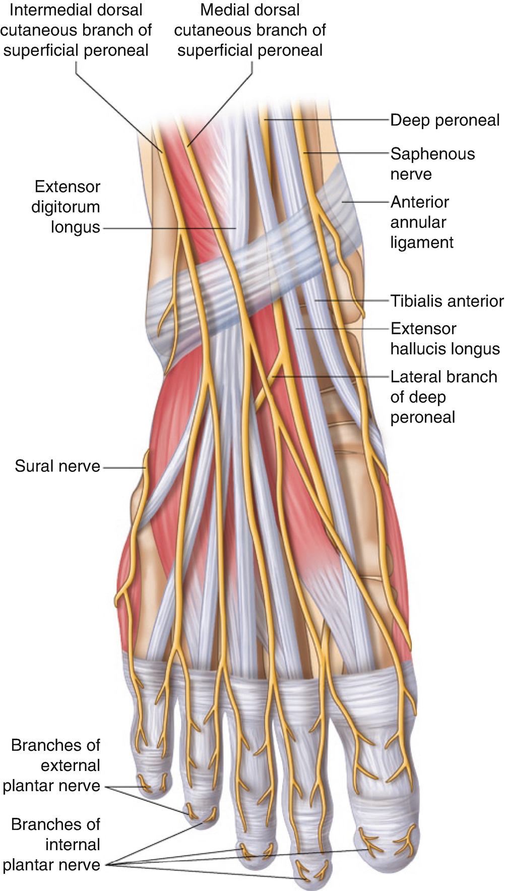 Ultrasound-Guided Nerve Blocks of the Lower Limb   SpringerLink