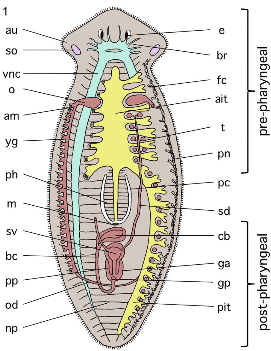 Plathelminthes faringelui, Numărul de straturi germinale din platyhelminthes, Frumoasă tenă