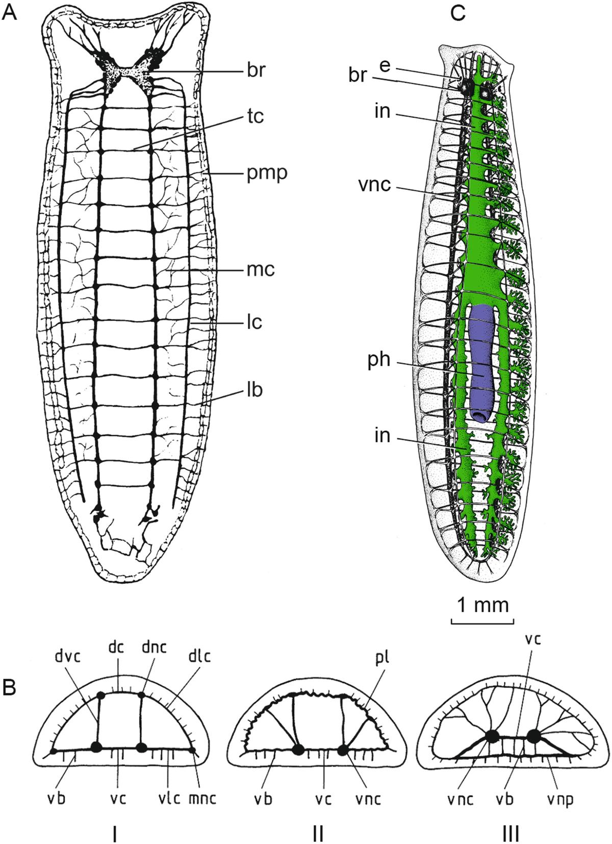 Állatrendszertan   egeszseghazhu, Phylum platyhelminthes taxonómia
