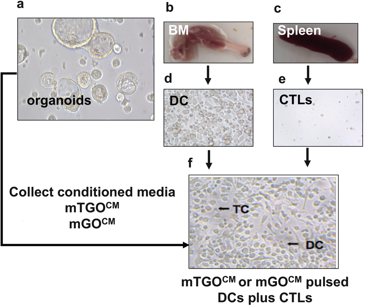 Mouse-Derived Gastric Organoid and Immune Cell Co-culture for the ...