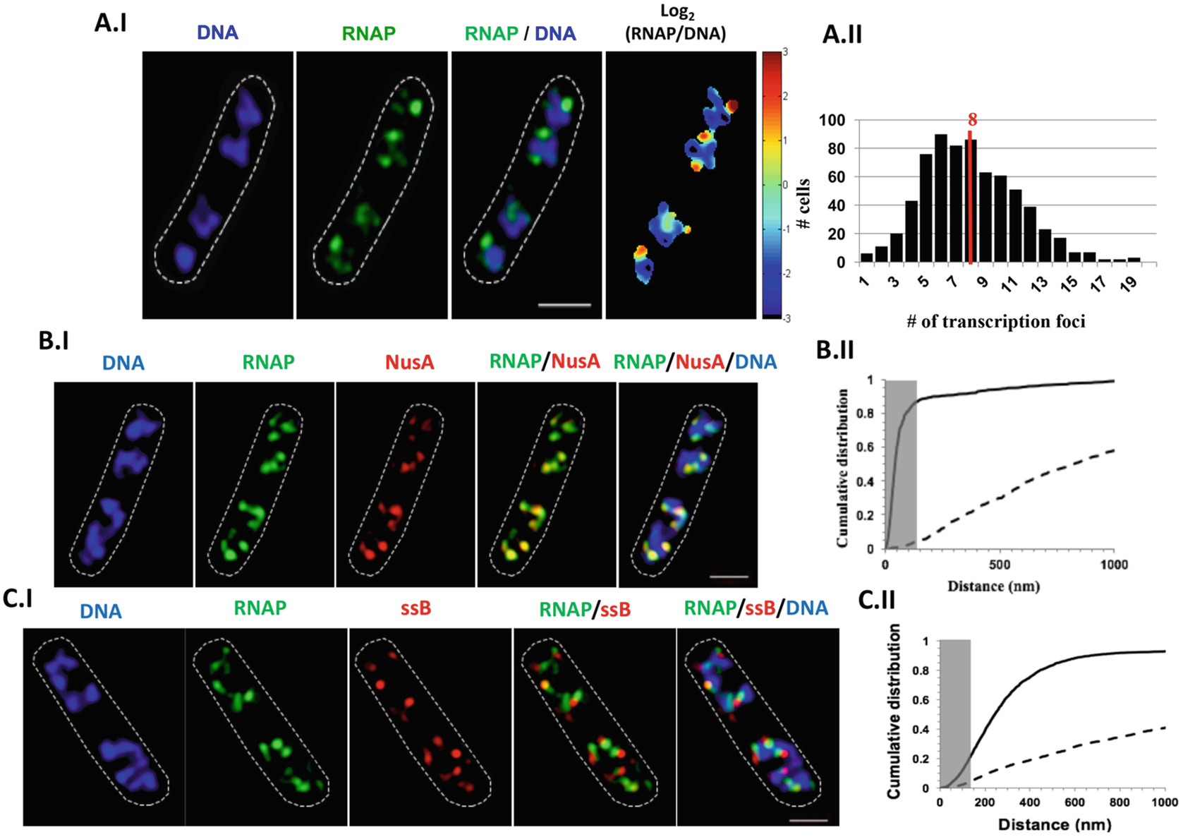Imaging of transcription and replication in the bacterial chromosome open image in new window fandeluxe Images