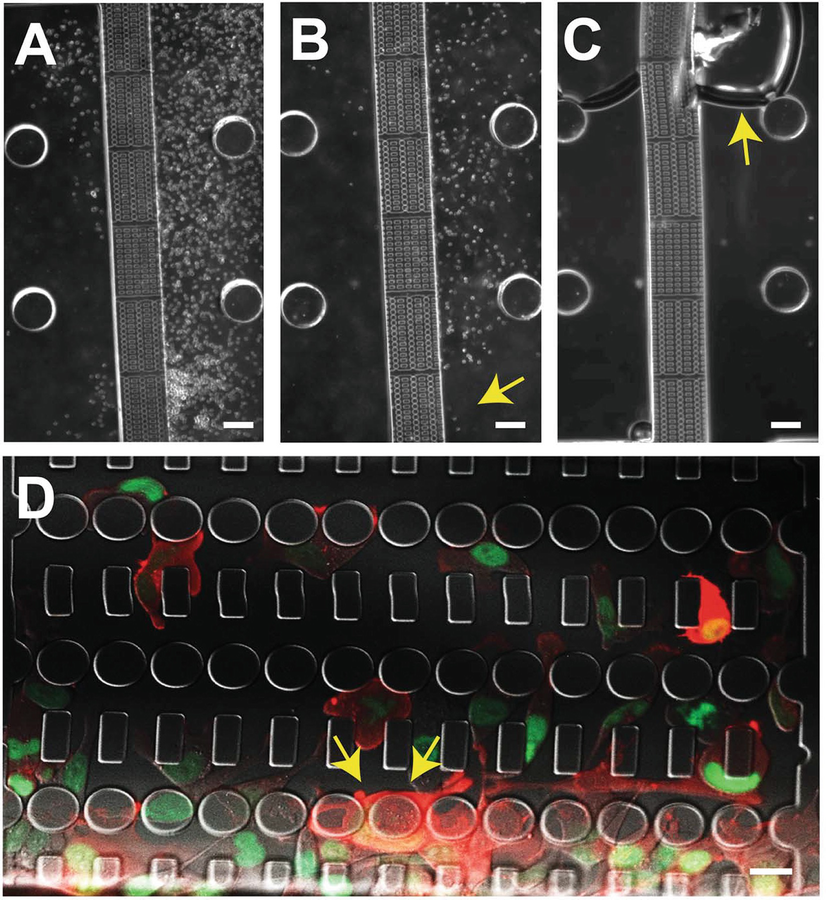 assembly and use of a microfluidic device to study cell migration in