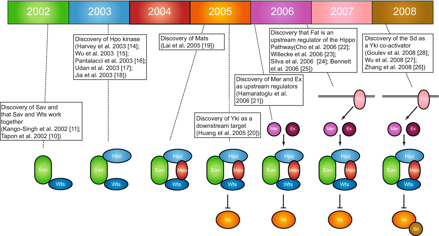 The Power of Drosophila Genetics: The Discovery of the Hippo Pathway