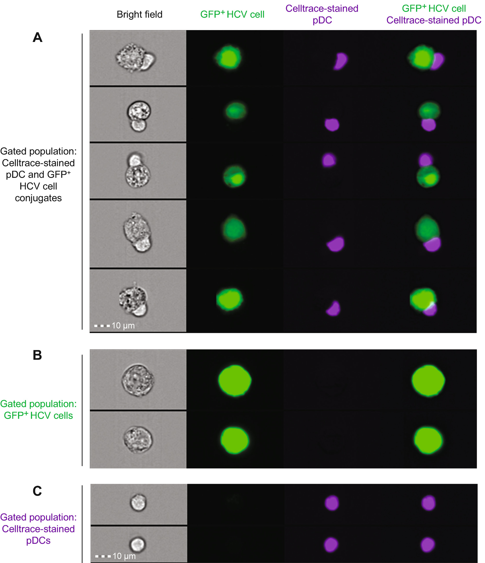 Monitoring of Interferon Response Triggered by Cells Infected by