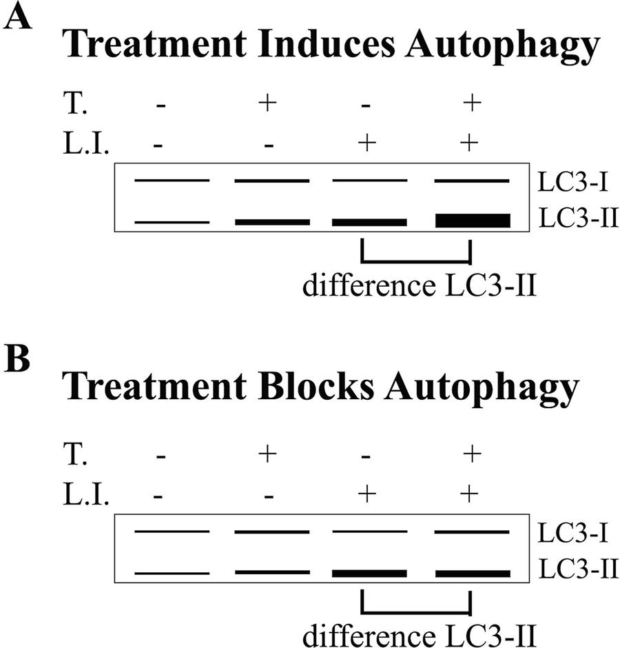 Methods To Measure Autophagy In Cancer Metabolism Springerlink
