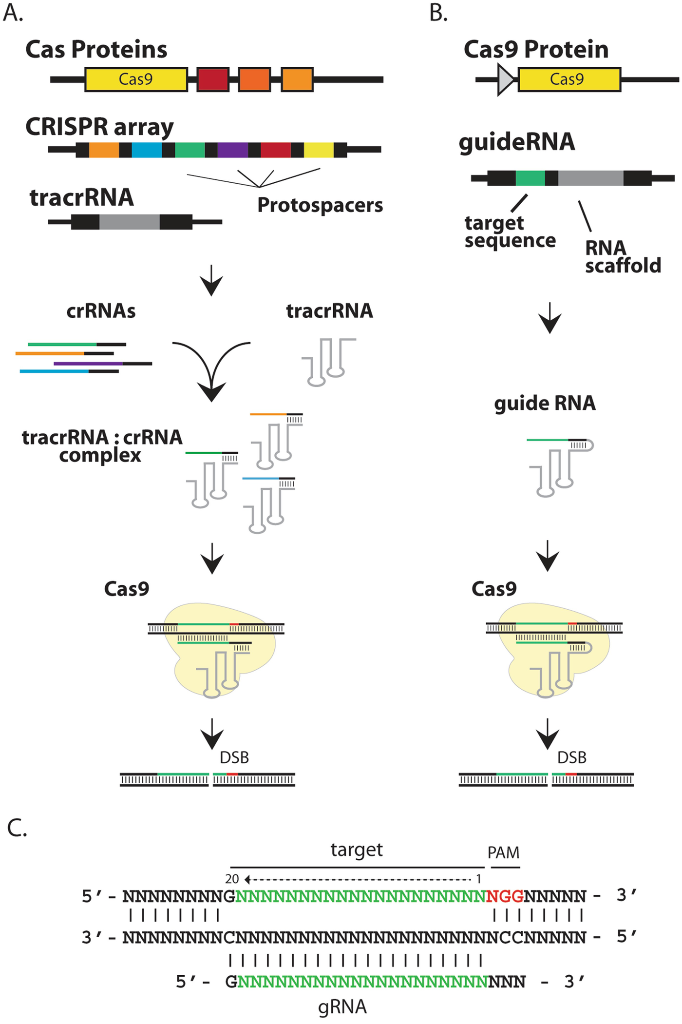 Design and Assembly of CRISPR/Cas9 Lentiviral and rAAV Vectors for ...