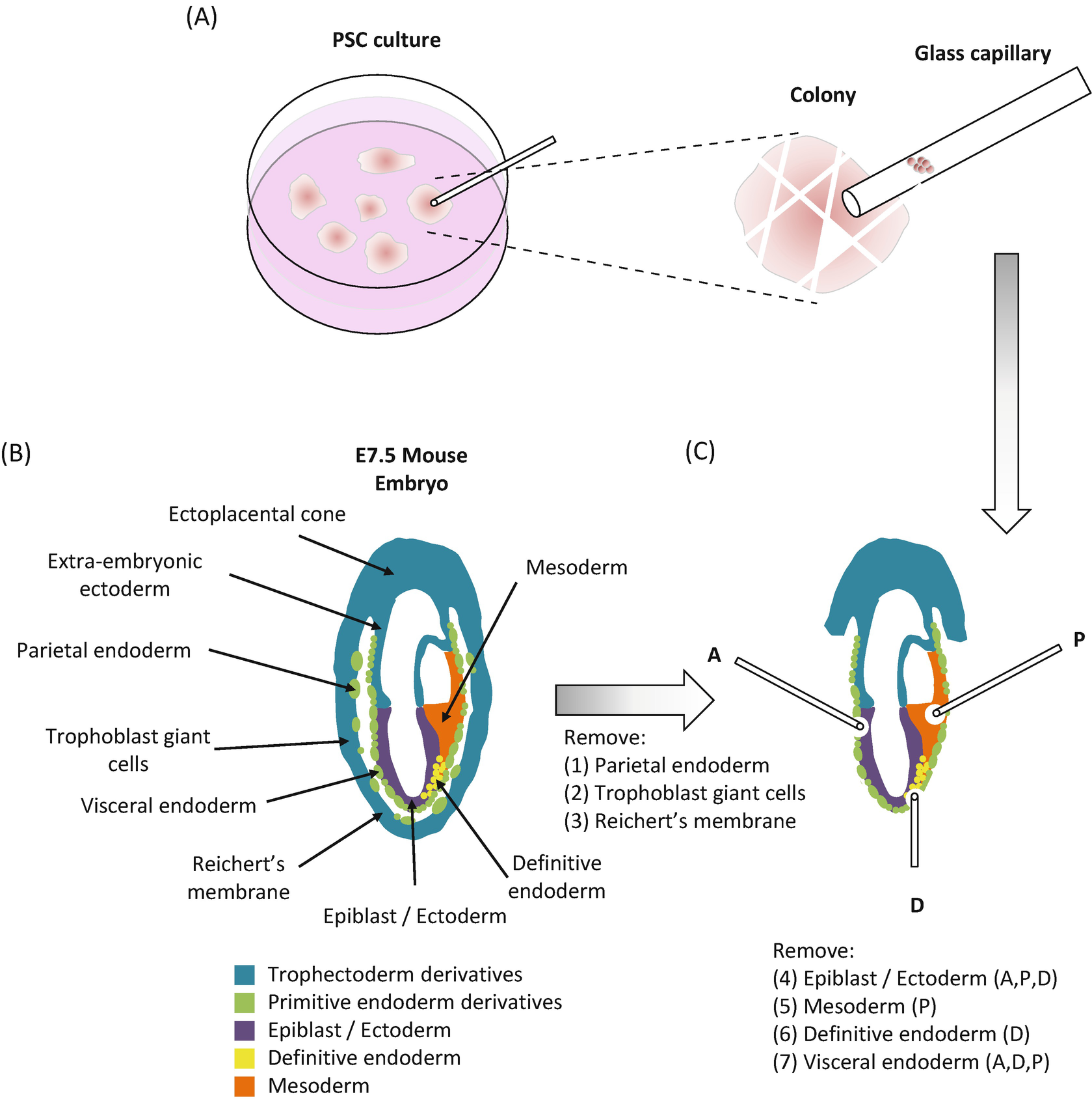 Embryonic Chimeras with Human Pluripotent Stem Cells | SpringerLink