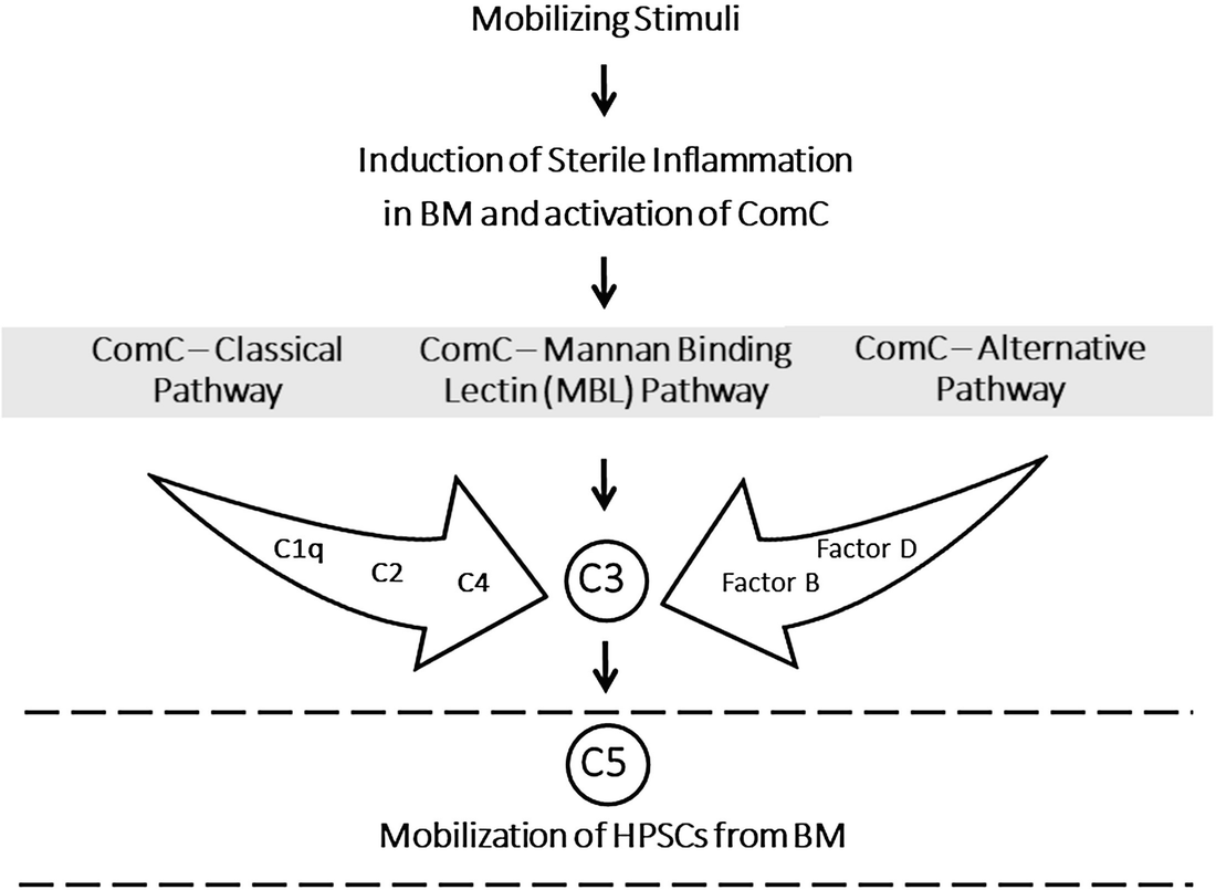 Array - analysis of the complement cascade activation during      rh   link springer com