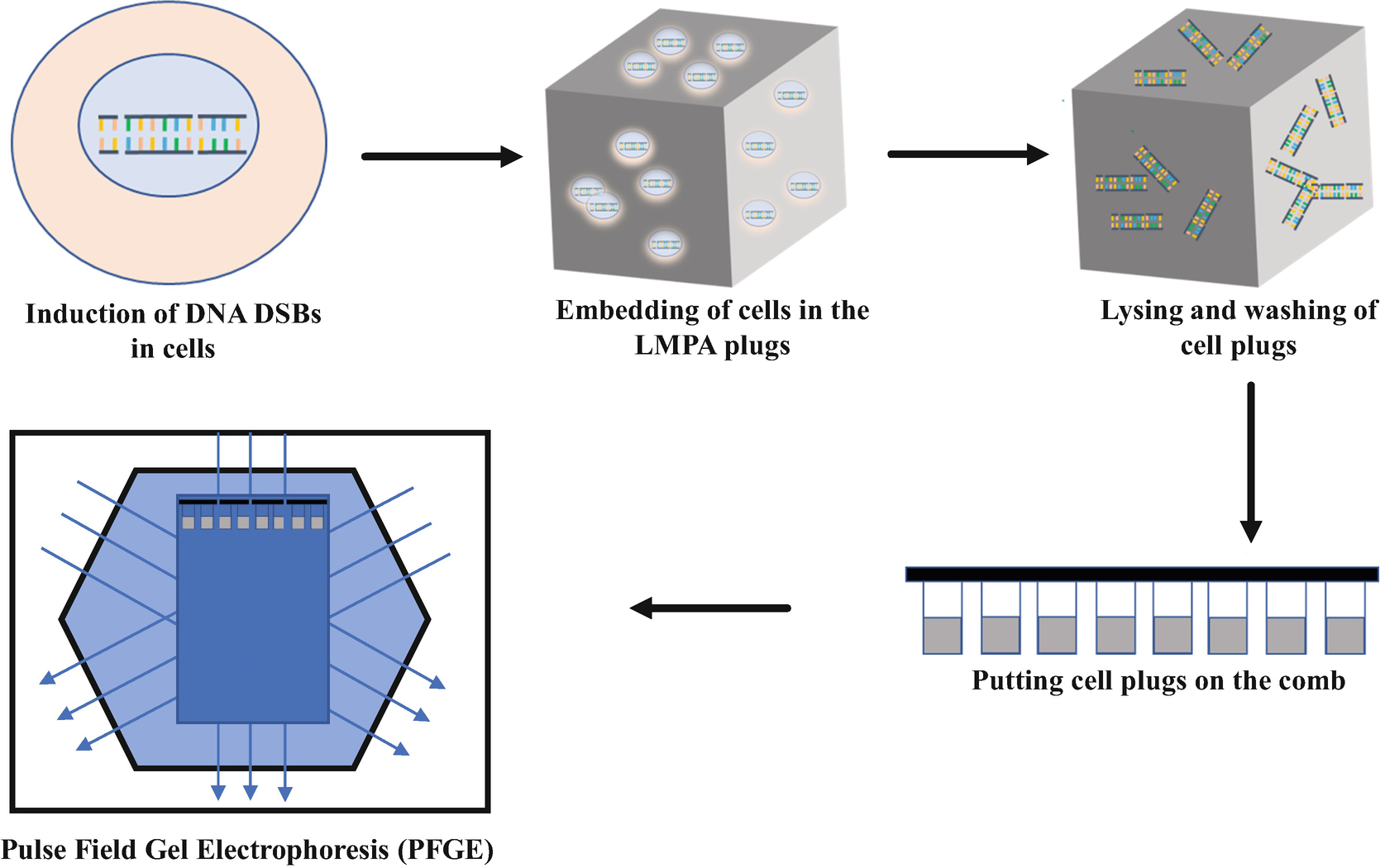 Detection Of Dna Double Strand Breaks Using Pulsed Field Gel