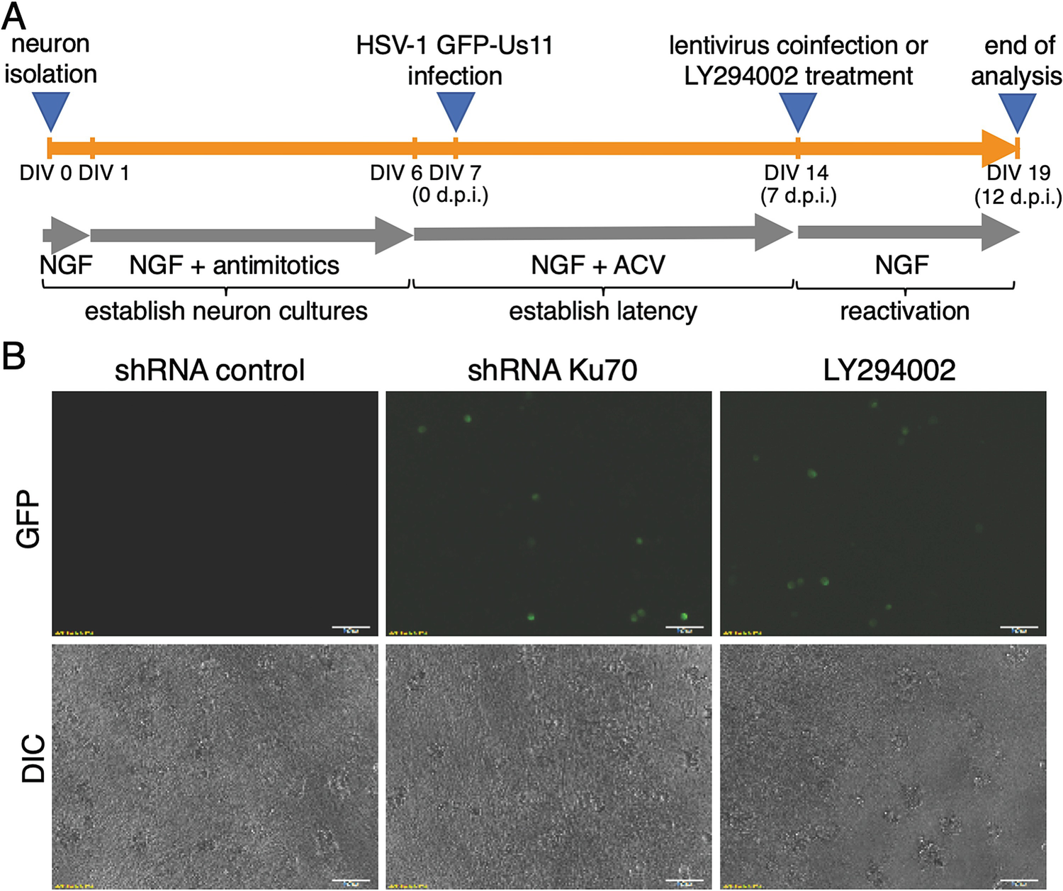 Using Primary SCG Neuron Cultures to Study Molecular