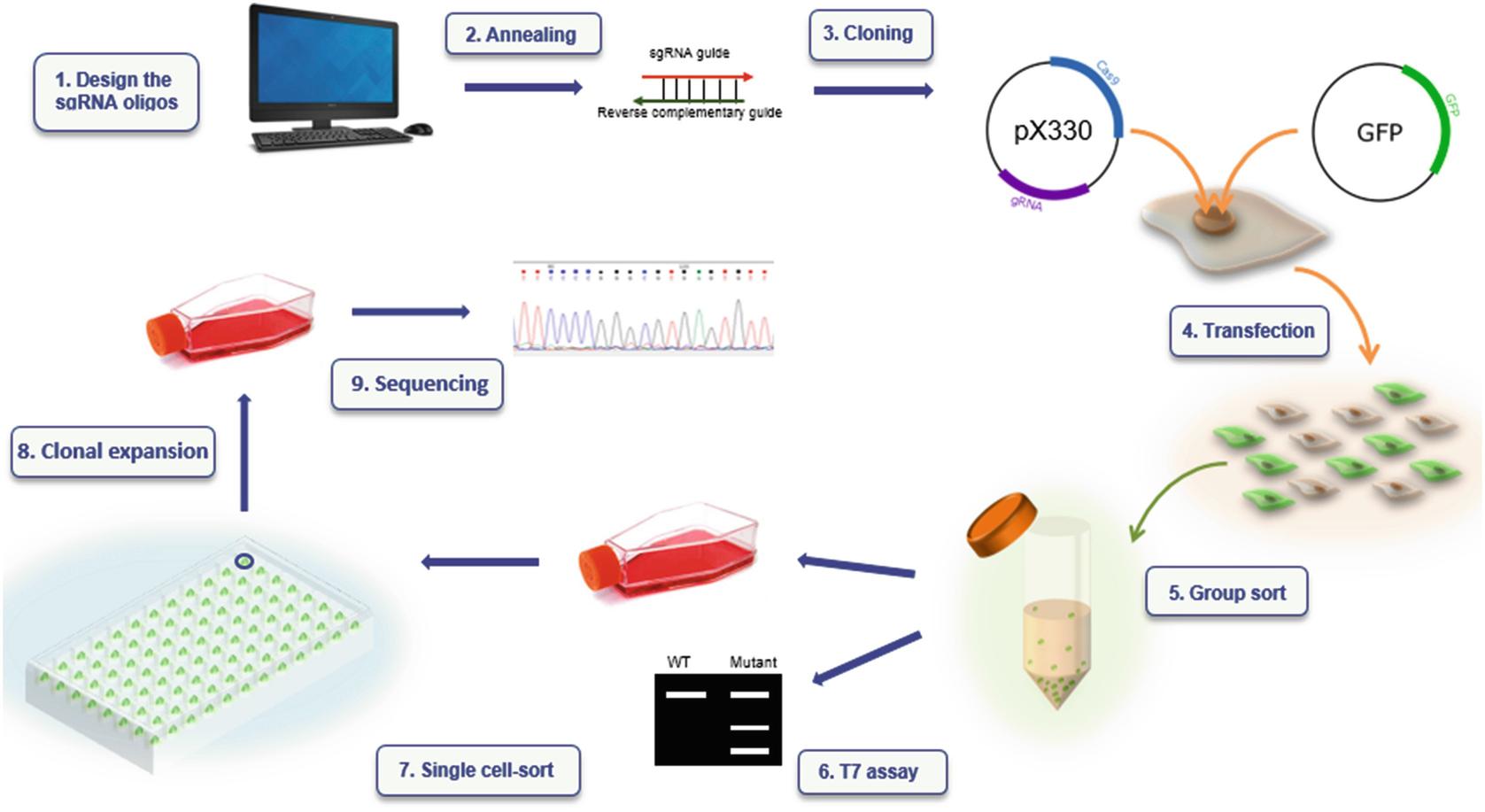 Generating Mutant Renal Cell Lines Using CRISPR Technologies ...