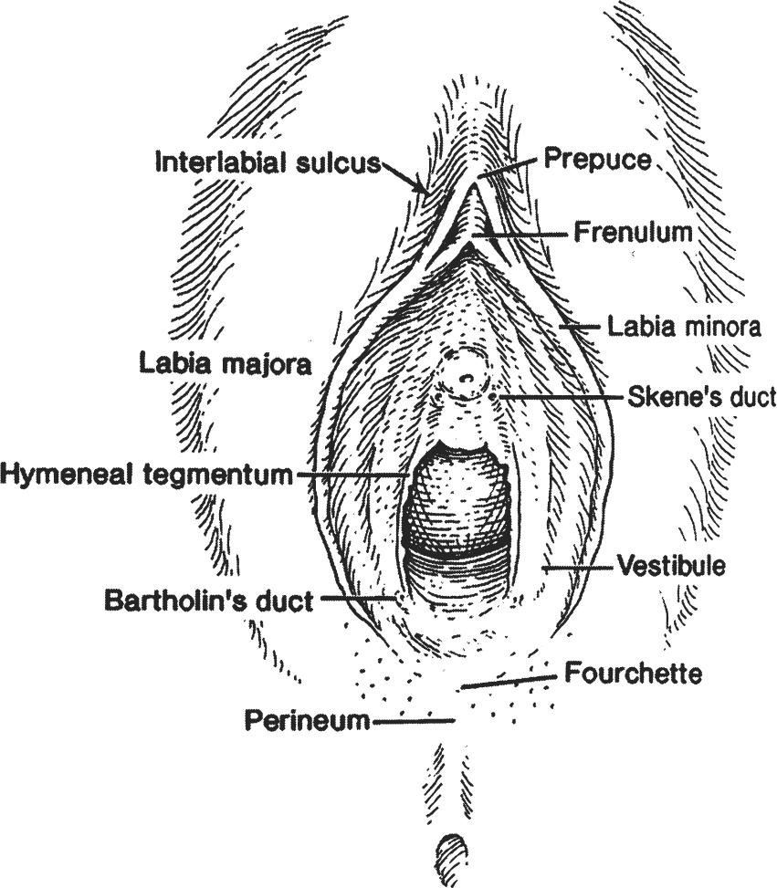 Genital Skin and Urethral Anatomy | SpringerLink