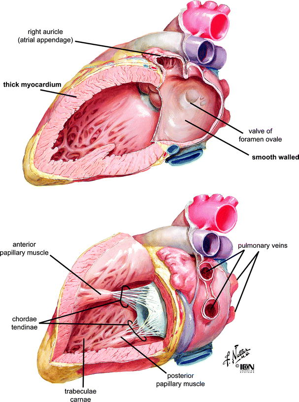 Anatomy Of The Human Heart Springerlink
