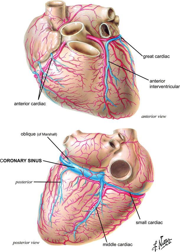 Anatomy of the Human Heart | SpringerLink