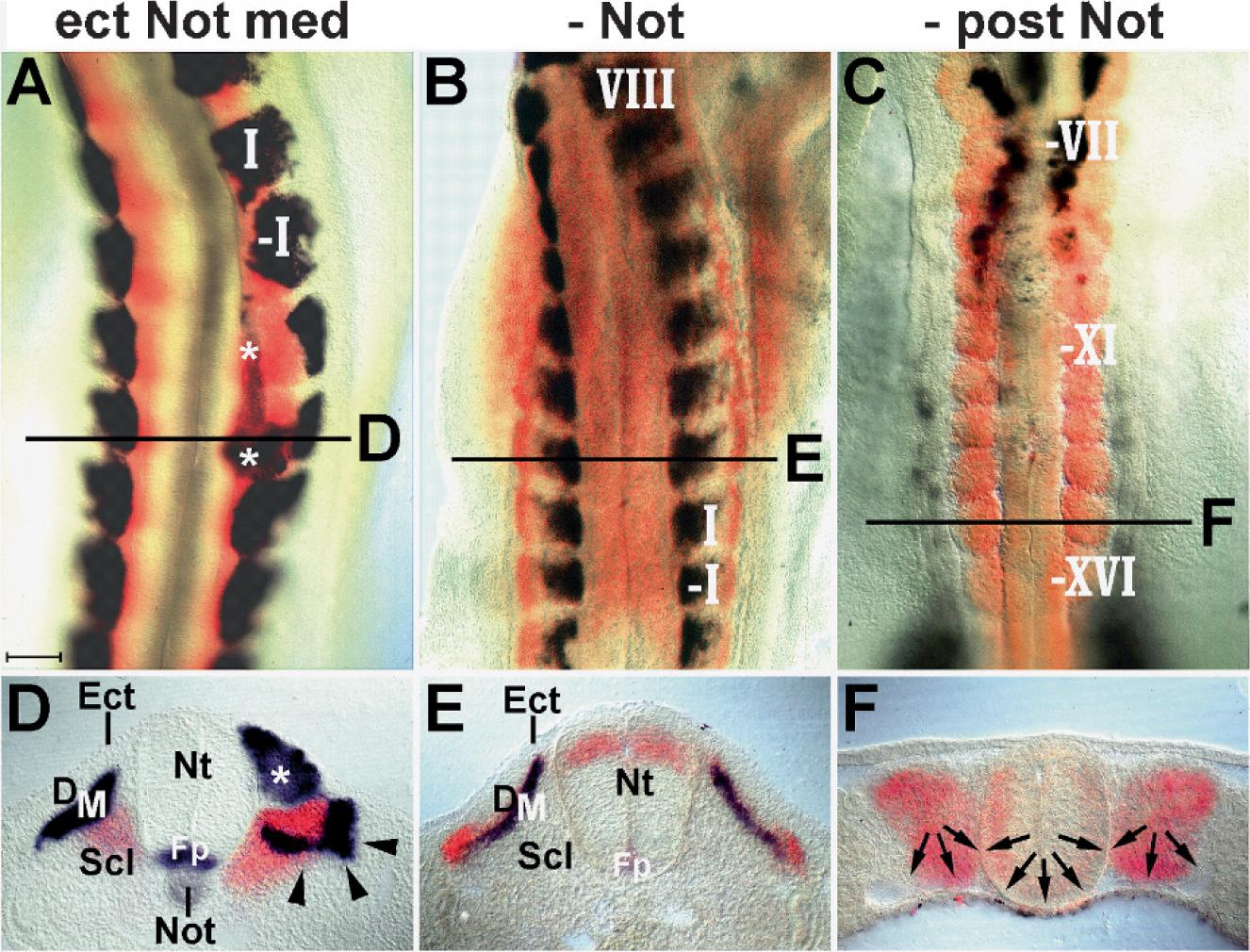 Peachy Microsurgical Manipulation Of The Notochord Springerlink Inzonedesignstudio Interior Chair Design Inzonedesignstudiocom