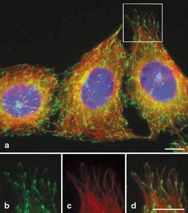 Microtubules | SpringerLink