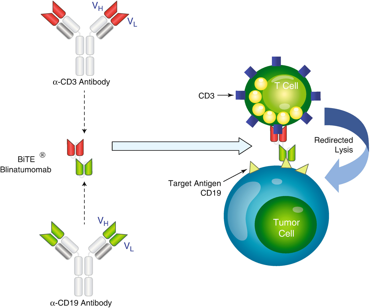 blinds target window blinds target mini blinds for.htm monoclonal antibodies in cancer springerlink  monoclonal antibodies in cancer