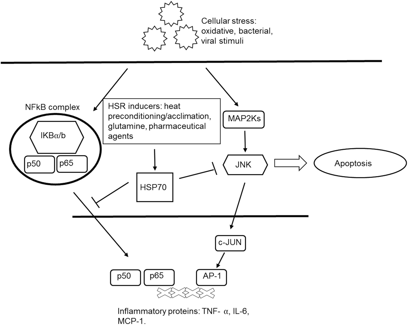 Heat Shock Proteins, Exercise and Inflammation | SpringerLink