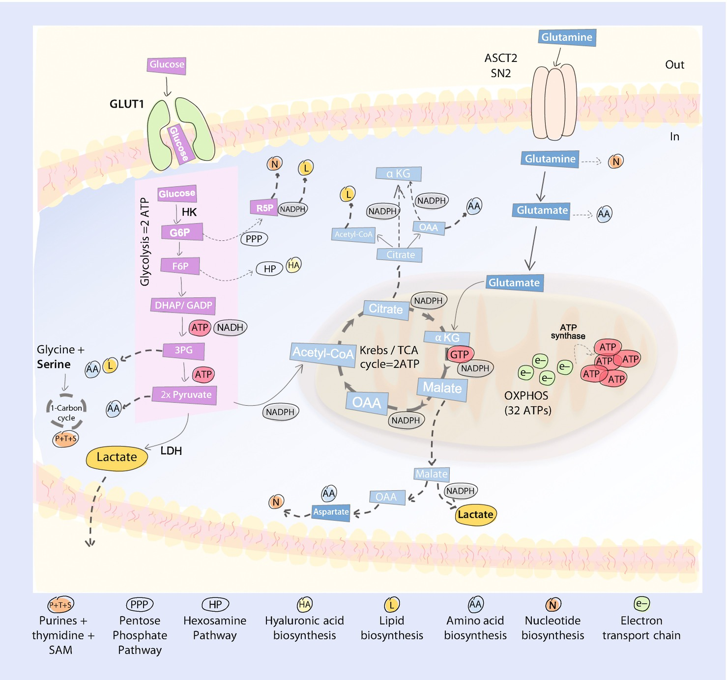 Cell Metabolism in Cancer: An Energetic Switch | SpringerLink