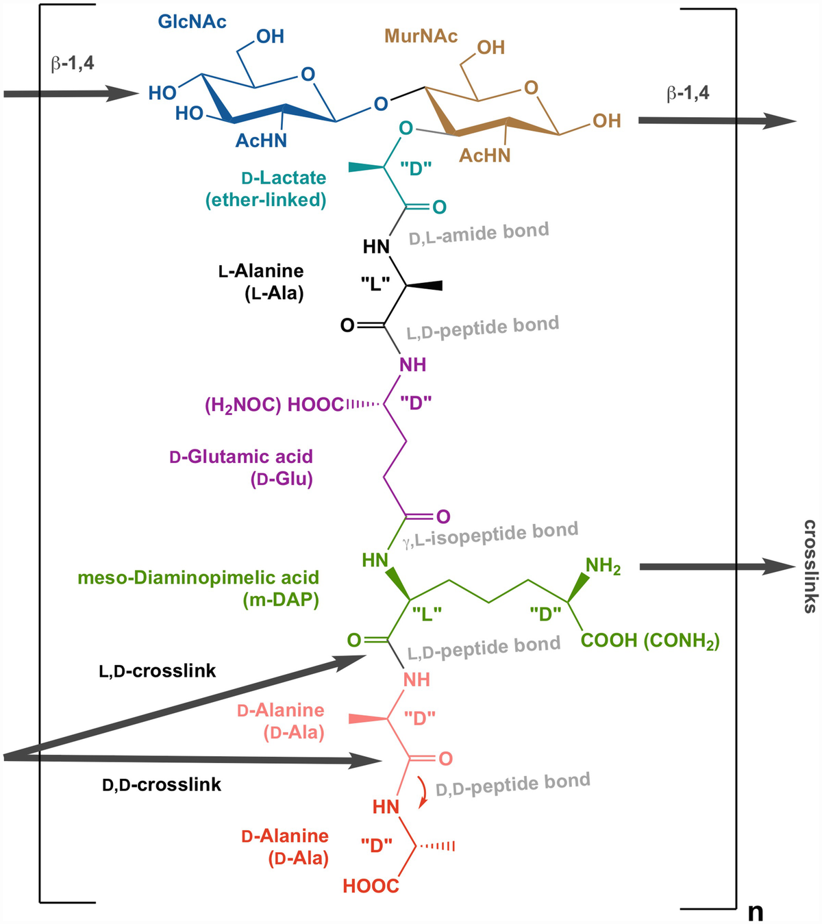 Peptidoglycan Structure, Biosynthesis, and Dynamics During