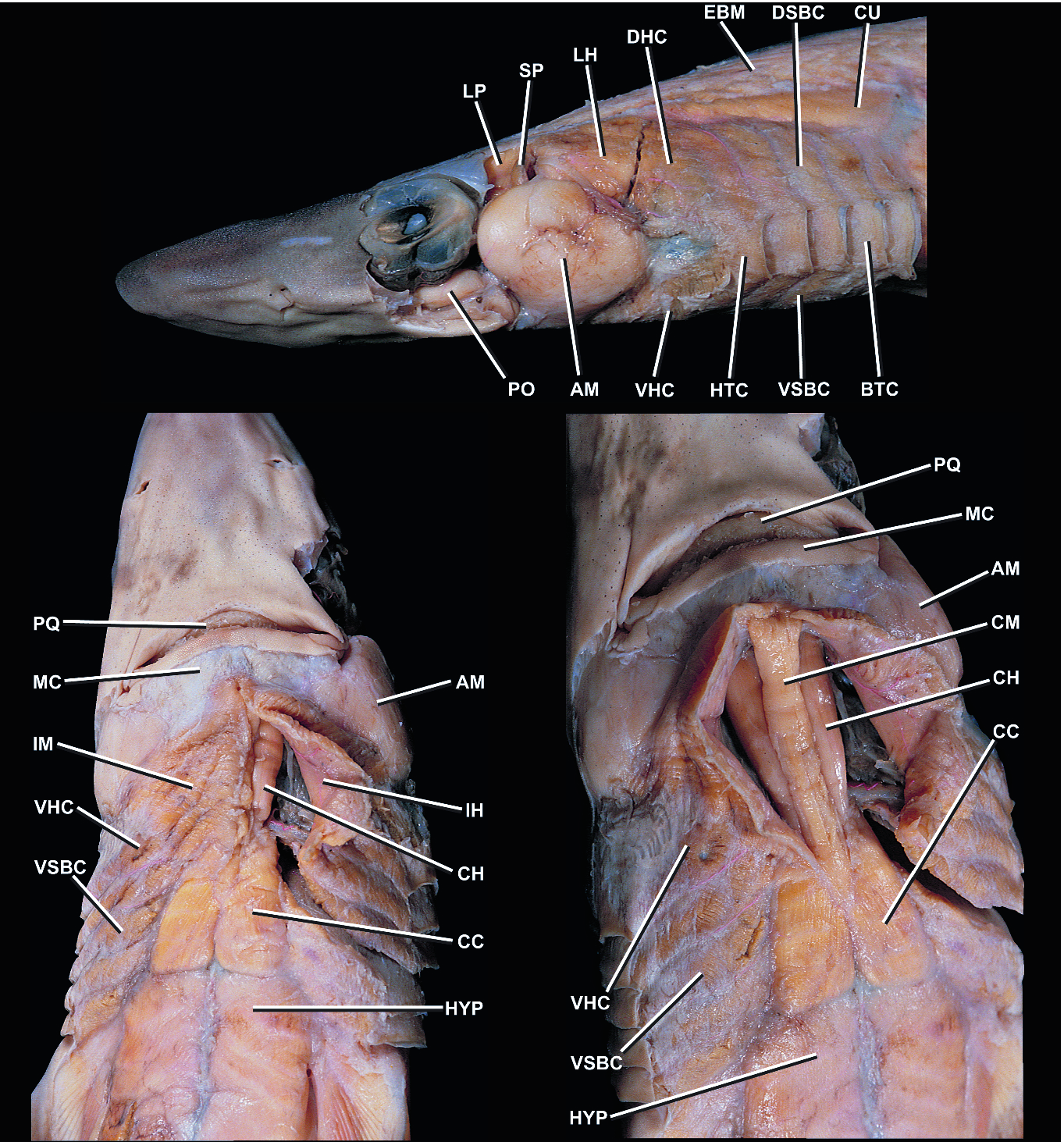 Feeding in Cartilaginous Fishes: An Interdisciplinary Synthesis