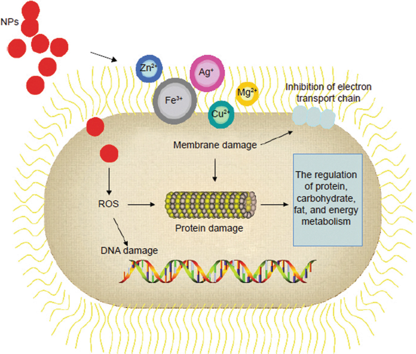 Light-Activated Nanoparticles for Antibacterial Studies
