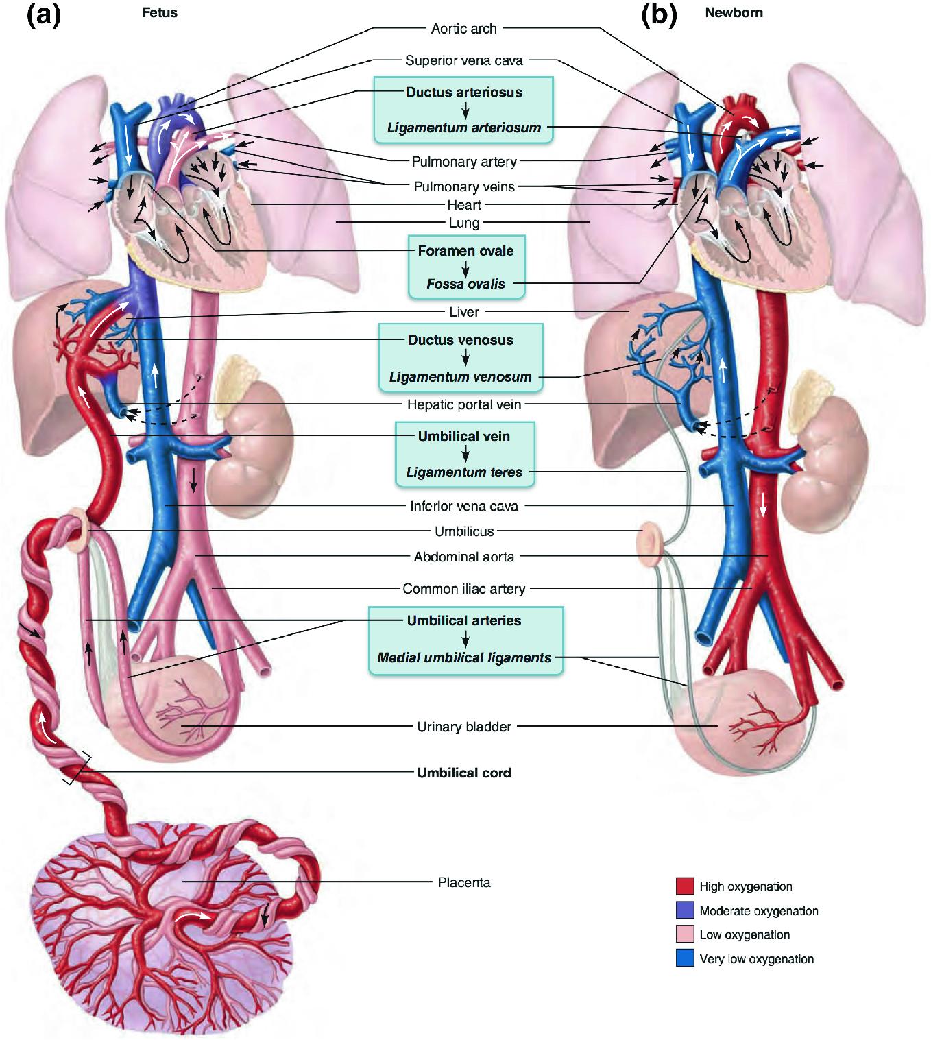 Circulation of Blood   SpringerLink