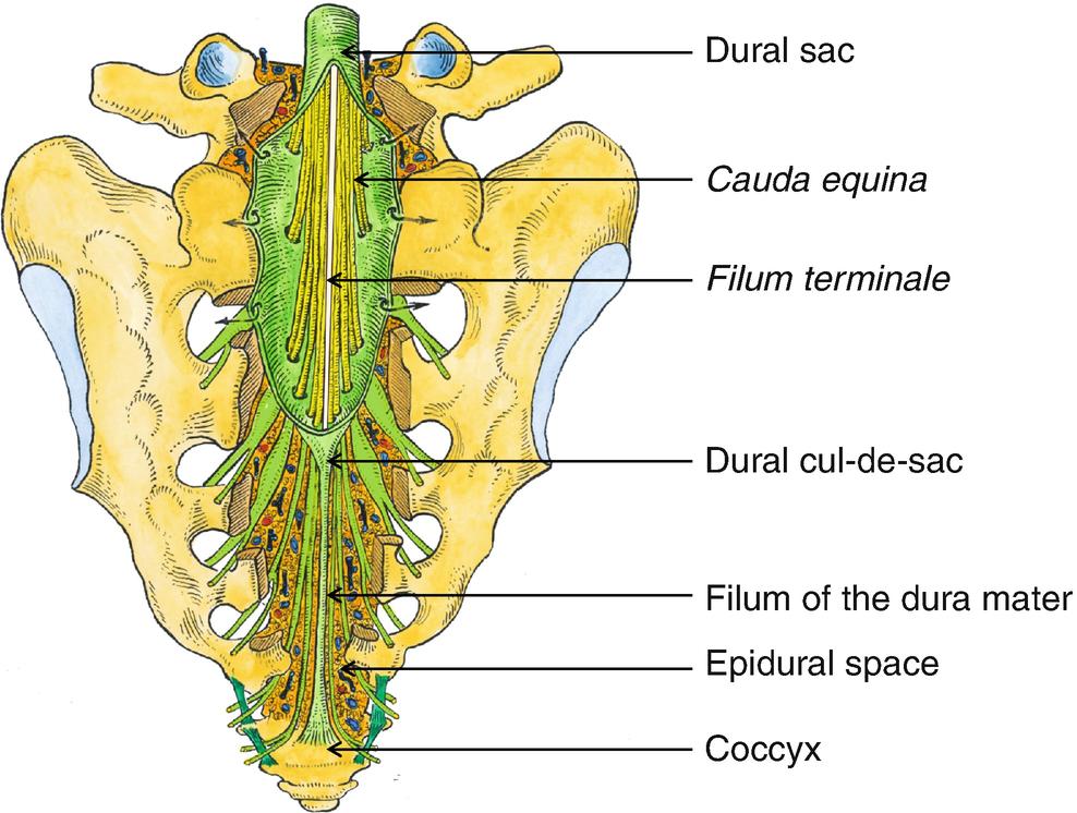 Anatomy Of The Spinal Meninges Springerlink El filum terminale es un filamento en final de médula espinal, un filum terminale que cause excesiva tracción de la médula espinal, provoca chiari. anatomy of the spinal meninges
